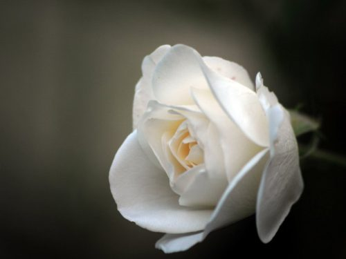 rosa25ago