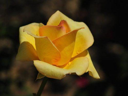 rosa26ago